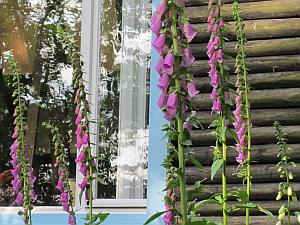 Wunderschön blühte 2012 der Fingerhut am John-Heartfield-Haus. Es ist interessant zu beobachten, wie sich der Garten allein durch das Auslichten verändert. Im Boden schlummernder Samen bekommt die Chance zum Wachsen.
