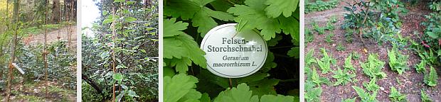 Eine Reihe Mehlbeeren wurde gepflanzt,die den oberen Weg betonen soll, besondere ursprüngliche Pflanzen haben ein Schild erhalten und die weitere Gestaltung des Waldgartens, hier mit einer Neuanpflanzung von Farn erfolgten 2012.